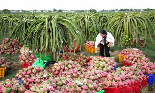 Australia considers importing Vietnamese fresh dragon fruit