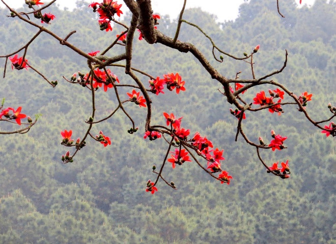 red silk cotton trees in full bloom in do son hinh 12