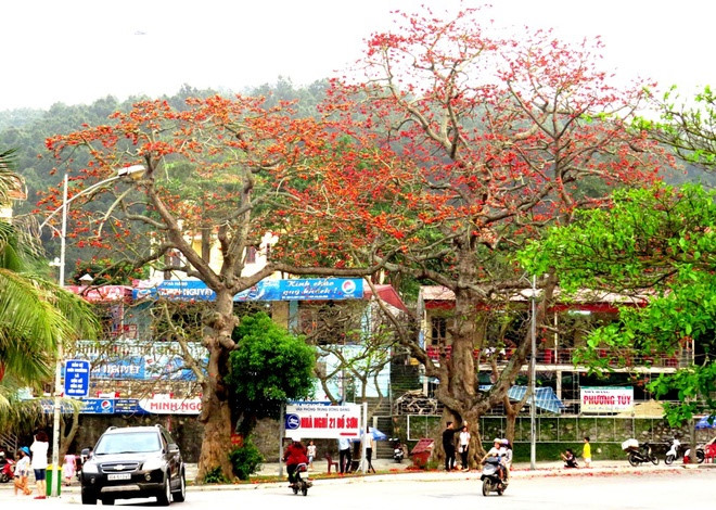 red silk cotton trees in full bloom in do son hinh 4