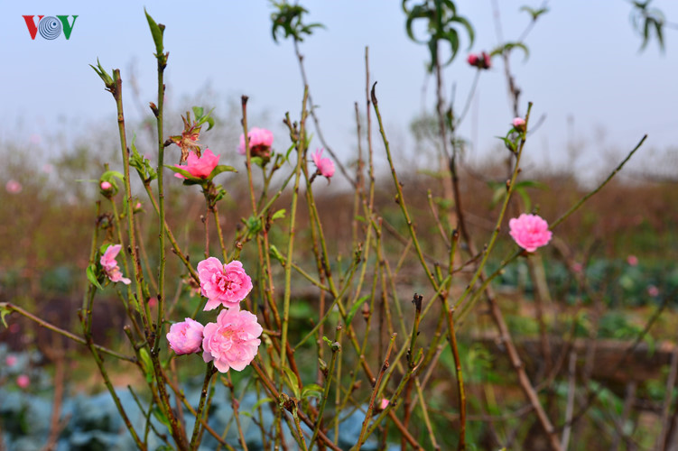 peach blossoms bloom early in nhat tan flower village hinh 14