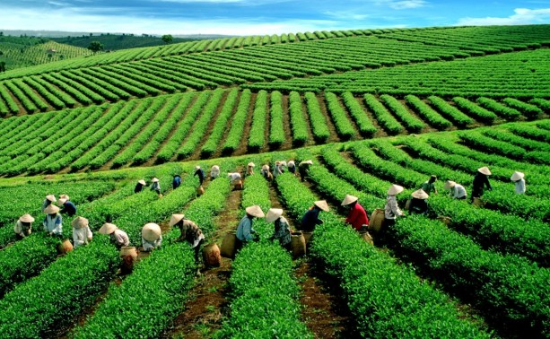vietnam boosts tea exports to the us hinh 0